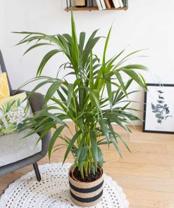 Palmier d'intérieur facile d'entretien