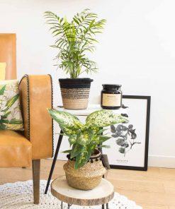 Chamaedorea et Dieffenbachia, plantes aux propriétés dépolluantes