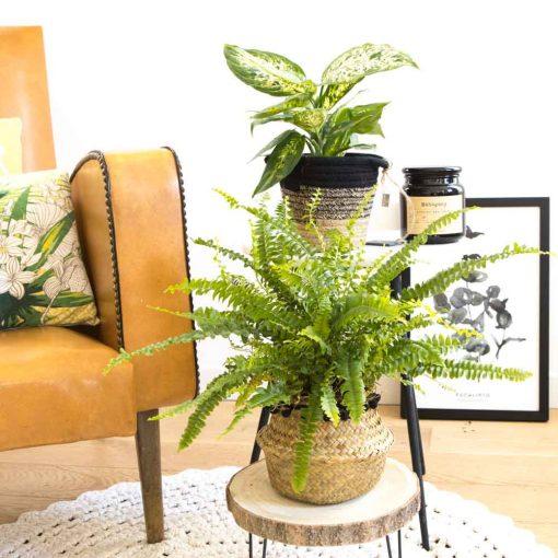 Fougère de boston et dieffenbachia composent ce lot de 2 plantes dépolluantes