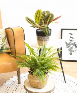 Plantes vertes d'intérieur dépolluantes, Marenta et Fougère de boston