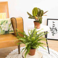 Marenta leuconeura et Fougère de Boston. Lot de 2 plantes d'intérieurs aux propriétés dépolluantes.
