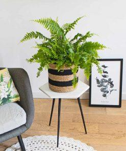 La fougère, plante verte dépolluante
