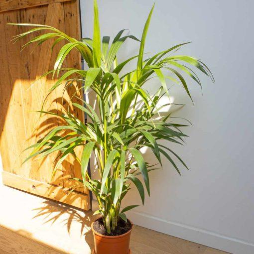 palmier d'intérieur kentia