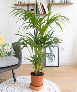 kentia ou palmier intérieur