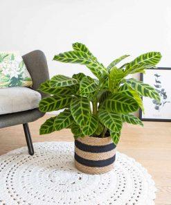 calathea plante zebre