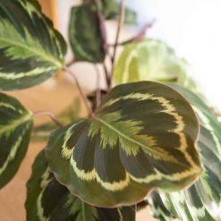 détail des feuilles du calathéa médaillon