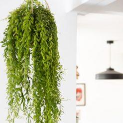 Aeschynanthus plante verte suspension