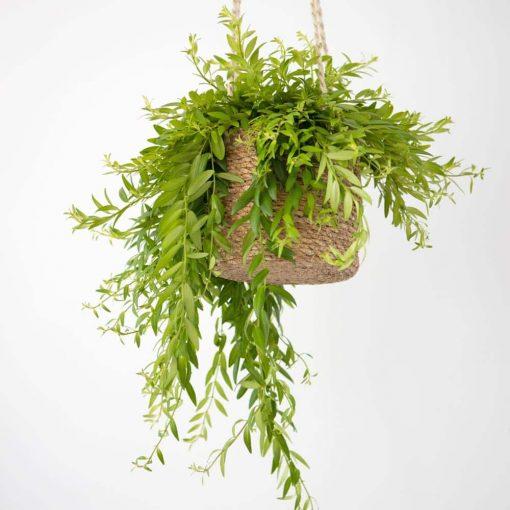 plante verte d'intérieur pour suspension