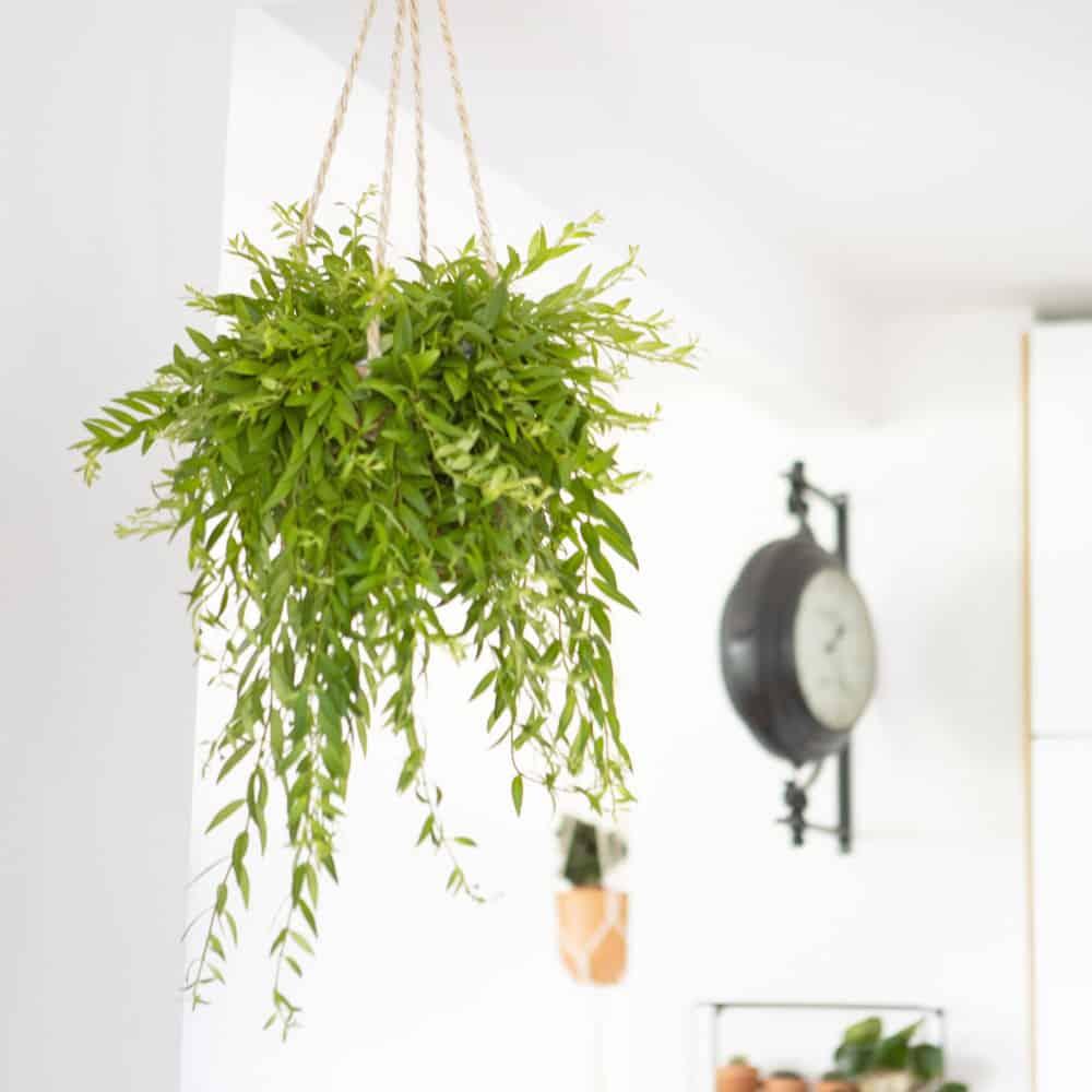 plante pour suspension
