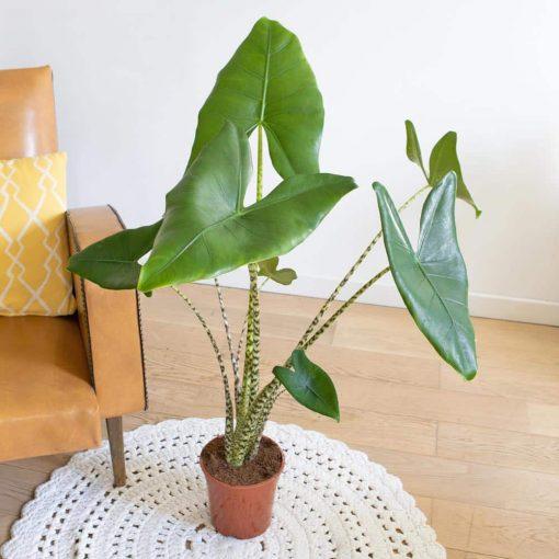 plante oreille d'éléphant ou alocasia zébrina