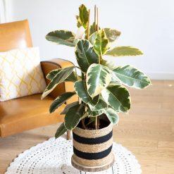 arbre caoutchouc ou ficus elastica