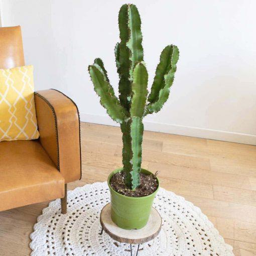 grand cactus euphorbia eritrea