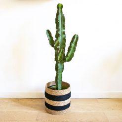 grand cactus euphorbe