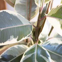 Détail des feuilles de l'arbre caoutchouc