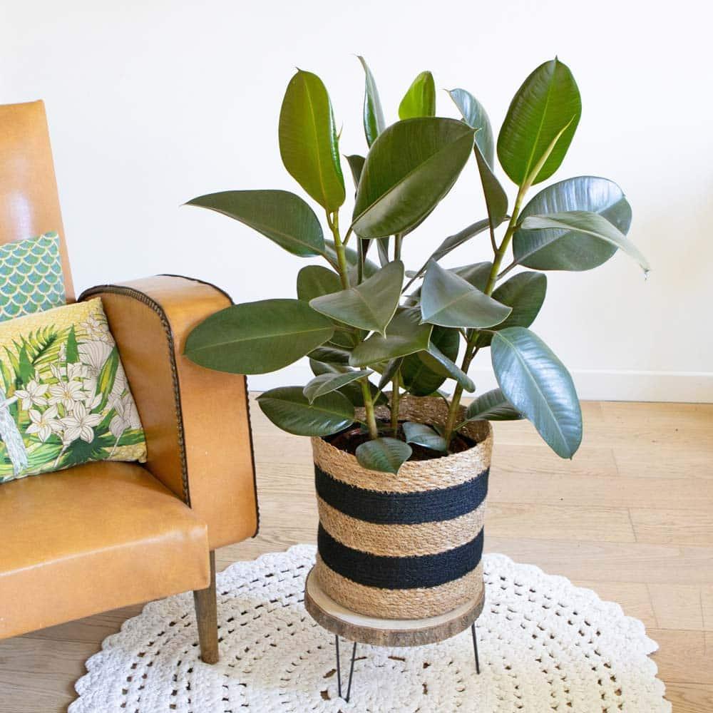 Ficus elastica ou robusta 3 branches