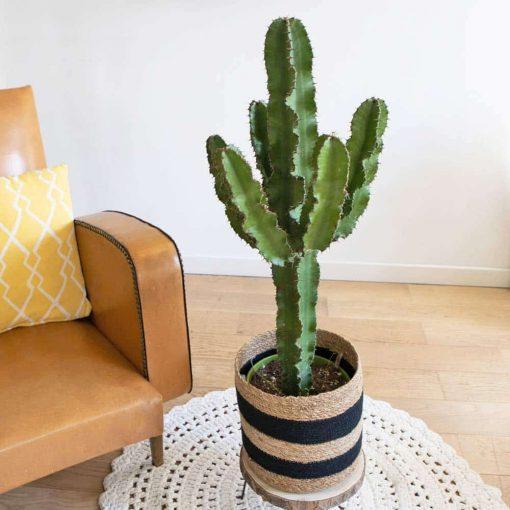 grand euphorbe cactus