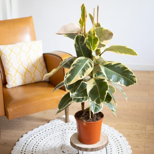 ficus elastica aux feuilles tachetées de jaune
