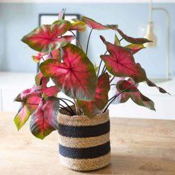 plante rare le caladium florida