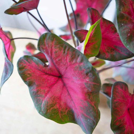 plante ailes d'anges le caladium