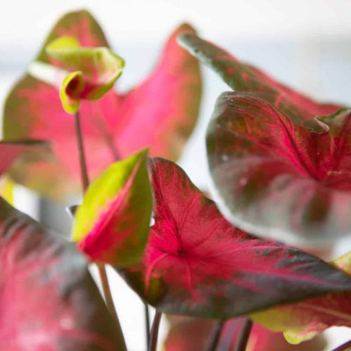 détail des feuilles du caladium florida