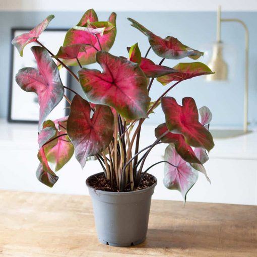 caladium florida rose