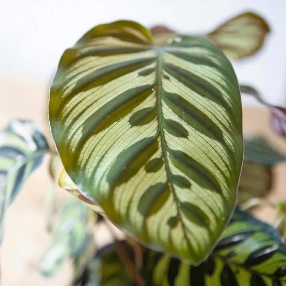 feuille du calathea makoyana