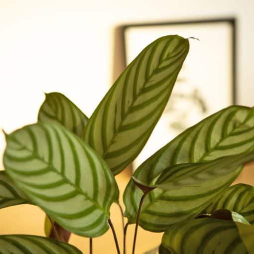 feuille de calathea oppenheimiana