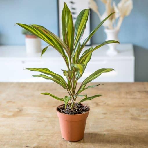 plante d'intérieur cordyline