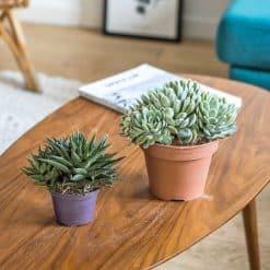 Lot de 2 plantes grasses