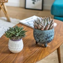 Lot de 2 plantes grasses echeveria et haworthia