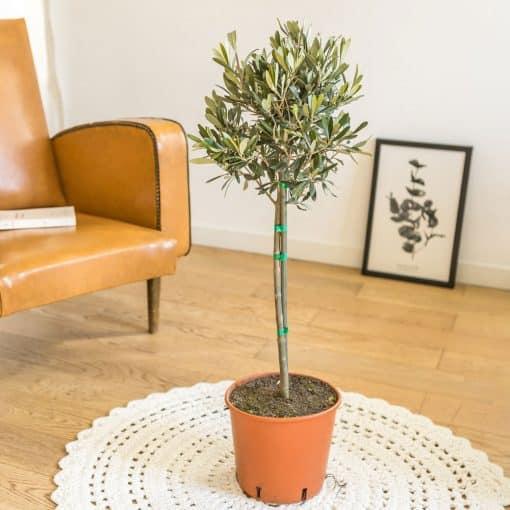 plante olivier provençal