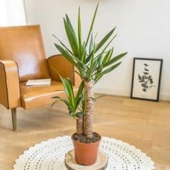 plante yucca pied elephant