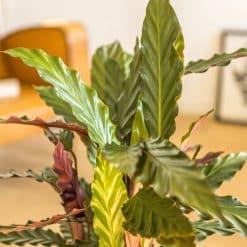 feuilles ondulées du calathéa wavestar