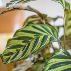feuille calathea makoyana