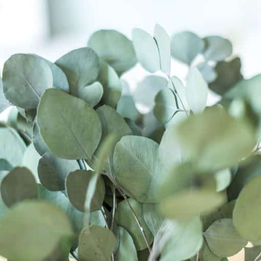 fleurs séchées eucalyptus populus