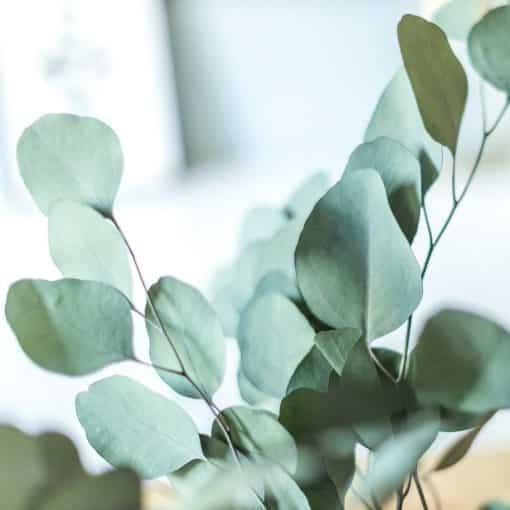 bouquet de fleurs séchées eucalyptus populus vert