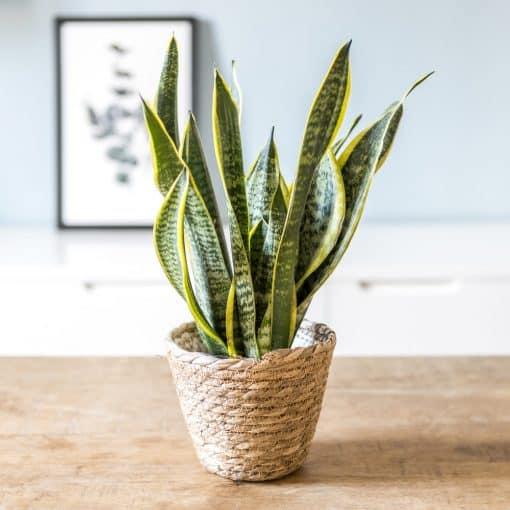 plante sansevieria ou langue de belle mère