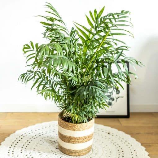 acheter palmier interieur