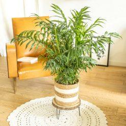 palmier interieur chamaedorea